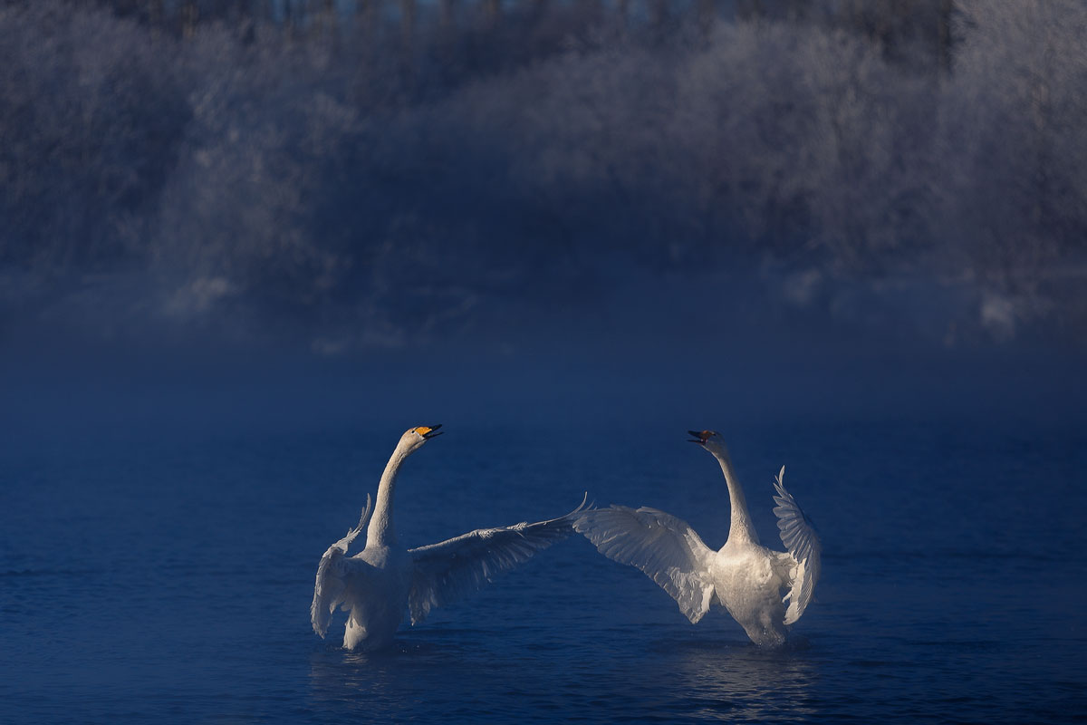 Dancing swans: Beautiful photographs by Dmitry Kupratsevich - 1