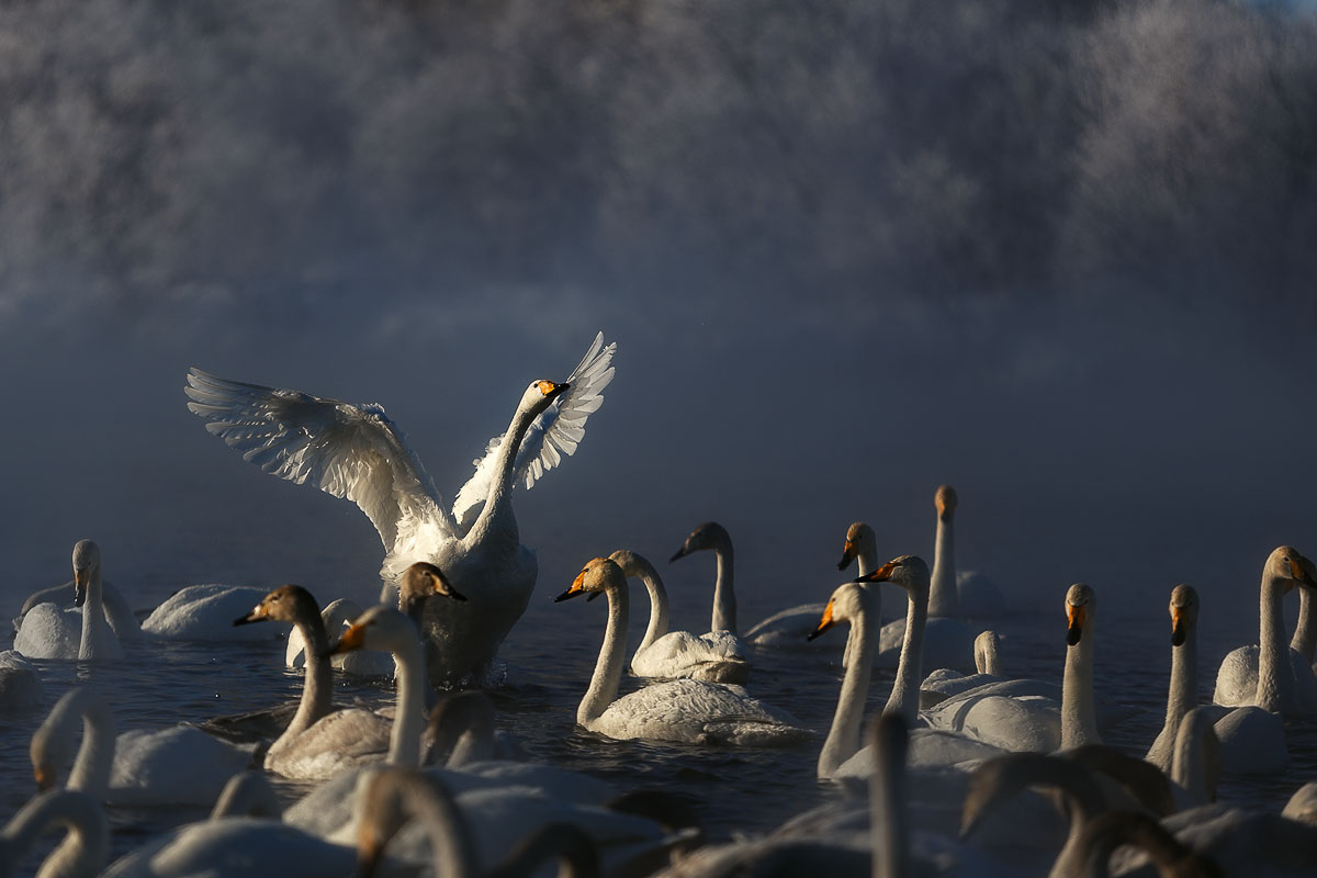 Dancing swans: Beautiful photographs by Dmitry Kupratsevich - 6