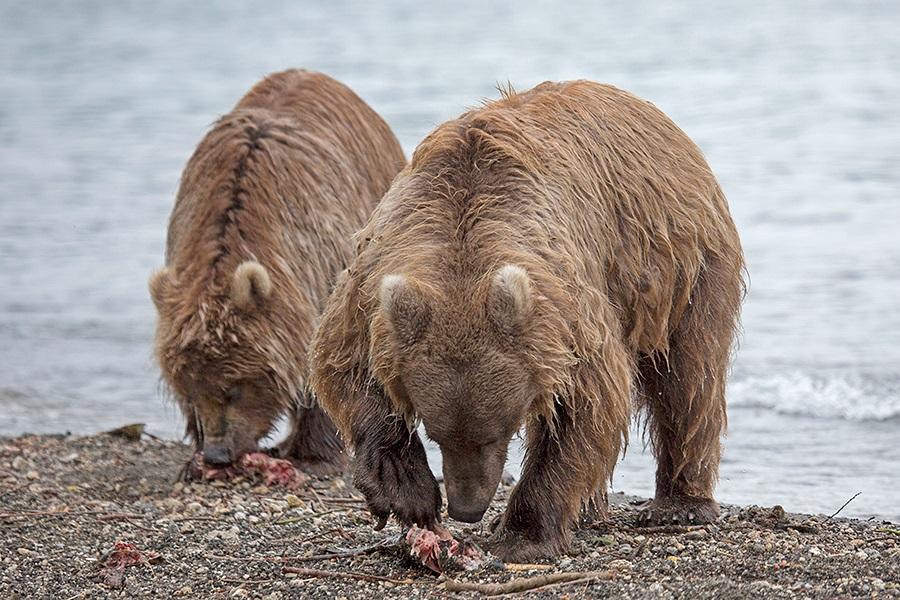 Russian bears: Photos of ferocious animals from Kamchatka - 11