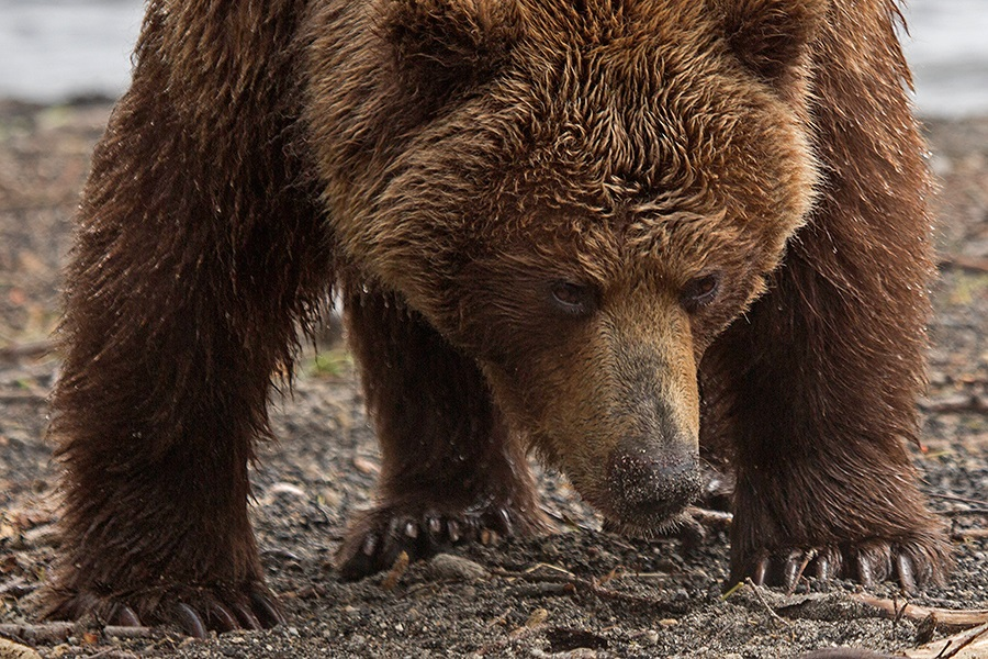 Russian bears: Photos of ferocious animals from Kamchatka - 15