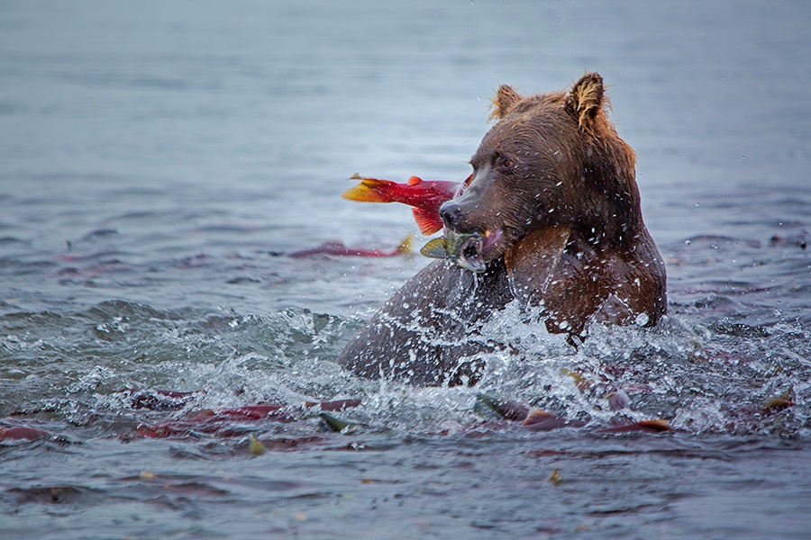 Russian bears: Photos of ferocious animals from Kamchatka - 17