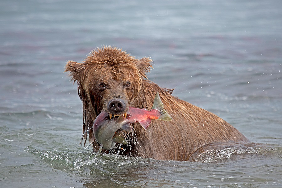 Russian bears: Photos of ferocious animals from Kamchatka - 18