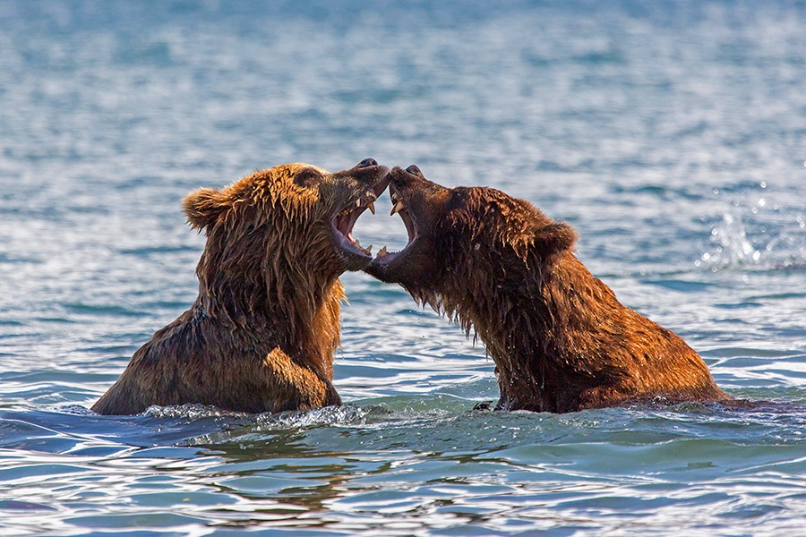 Russian bears: Photos of ferocious animals from Kamchatka - 19