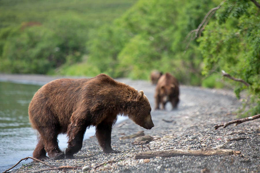 Russian bears: Photos of ferocious animals from Kamchatka - 2