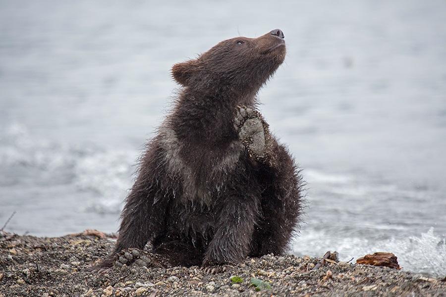 Russian bears: Photos of ferocious animals from Kamchatka - 20