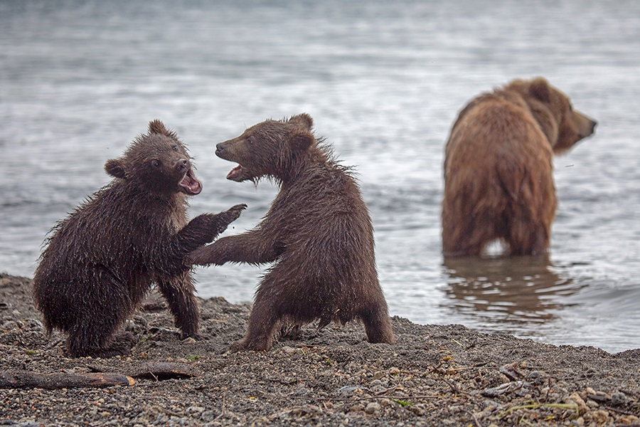 Russian bears: Photos of ferocious animals from Kamchatka - 21