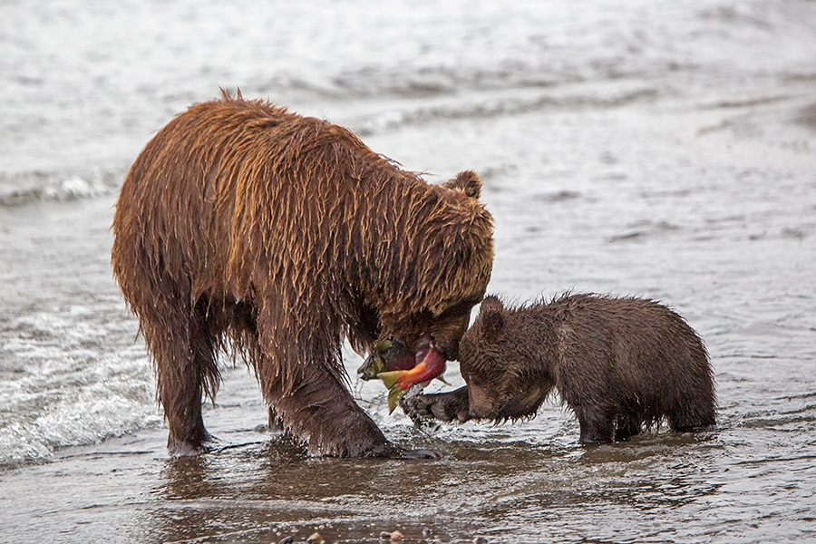 Russian bears: Photos of ferocious animals from Kamchatka - 22