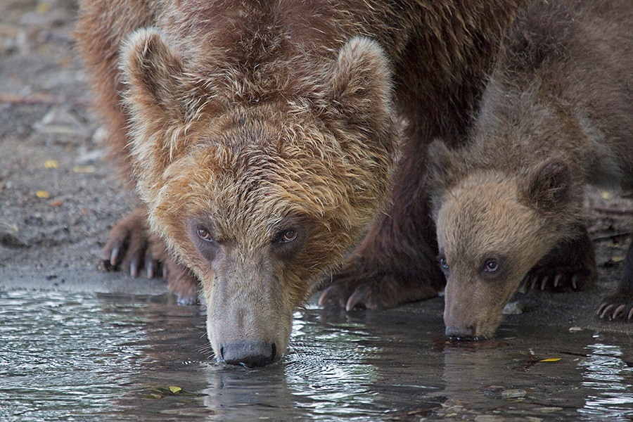 Russian bears: Photos of ferocious animals from Kamchatka - 26