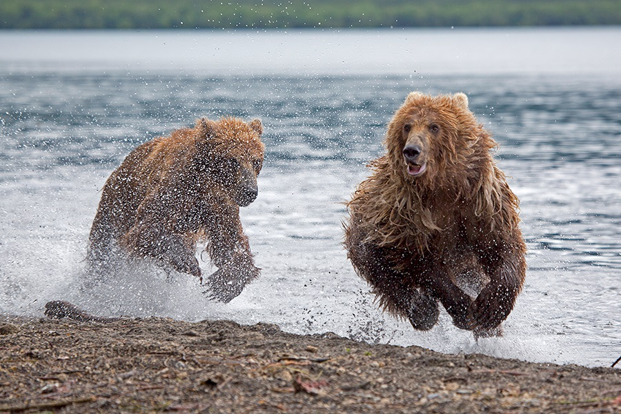 Russian bears: Photos of ferocious animals from Kamchatka - 28