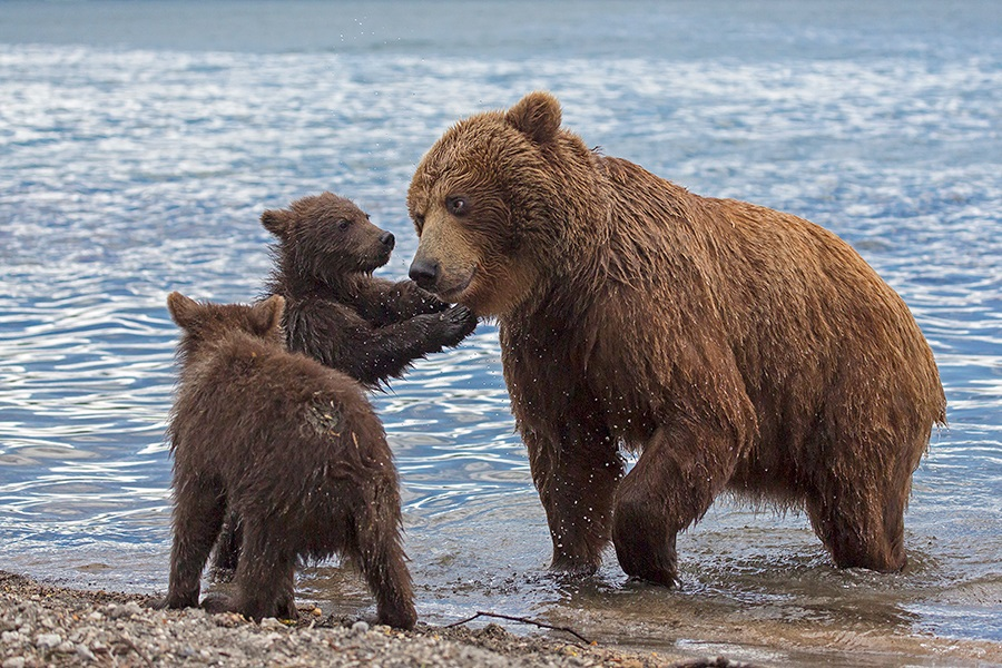 Russian bears: Photos of ferocious animals from Kamchatka - 29