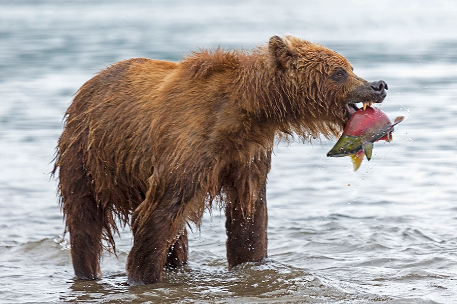 Russian bears: Photos of ferocious animals from Kamchatka - 30
