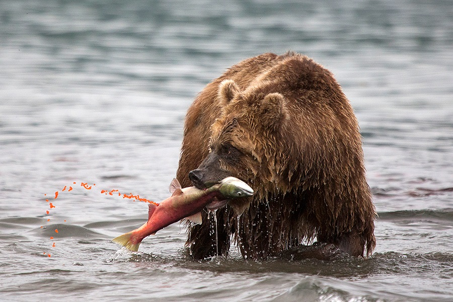 Russian bears: Photos of ferocious animals from Kamchatka - 31