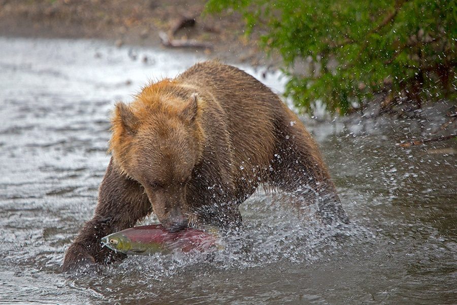Russian bears: Photos of ferocious animals from Kamchatka - 34
