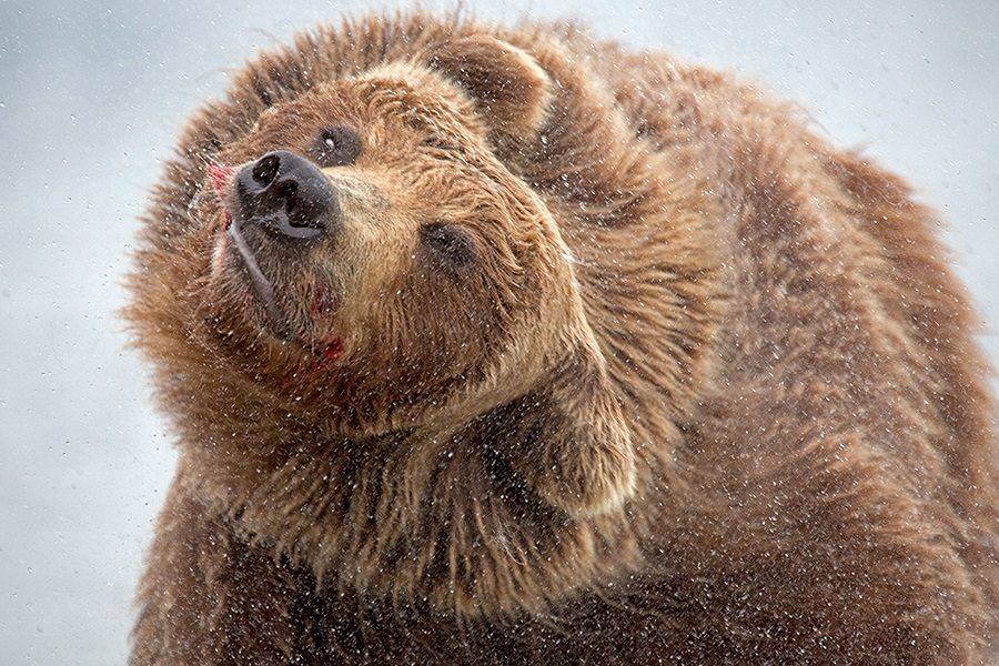 Russian bears: Photos of ferocious animals from Kamchatka - 35