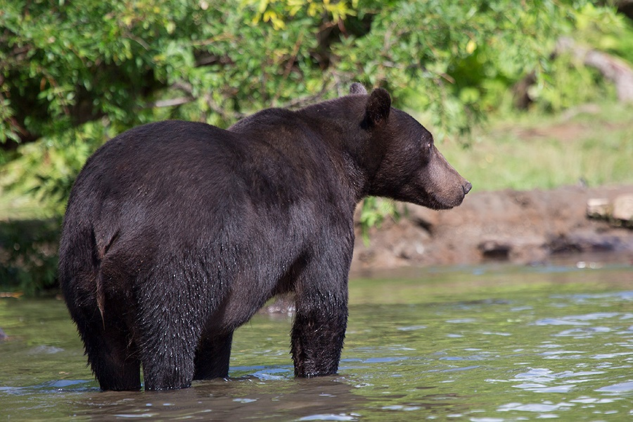 Russian bears: Photos of ferocious animals from Kamchatka - 36