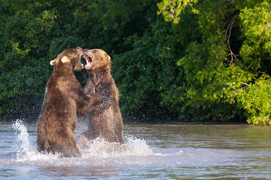 Russian bears: Photos of ferocious animals from Kamchatka - 4