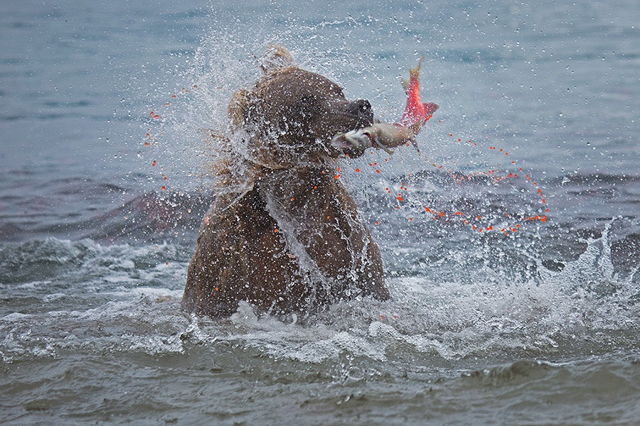 Russian bears: Photos of ferocious animals from Kamchatka - 6
