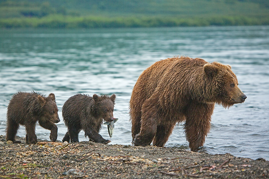 Russian bears: Photos of ferocious animals from Kamchatka - 7