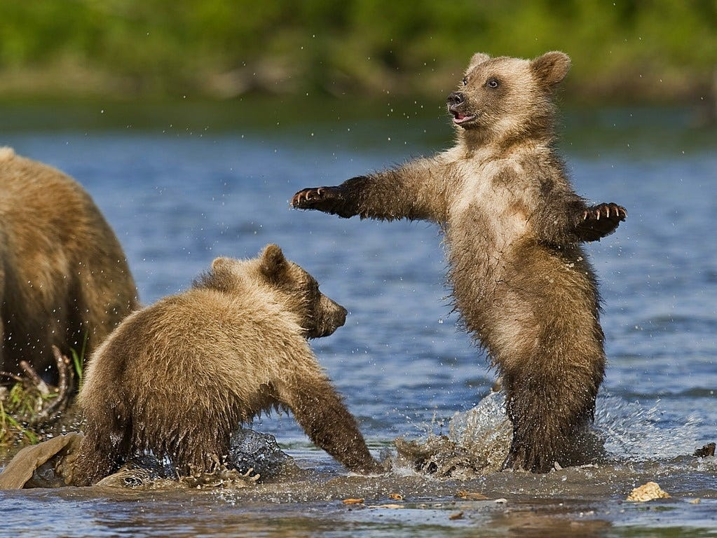 Ungentle charm of Kamchatka bears in photos by Sergey Ivanov - 10