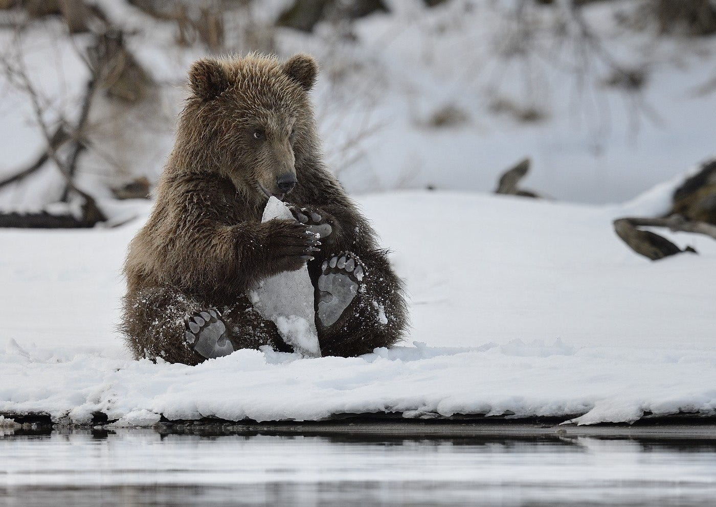 Ungentle charm of Kamchatka bears in photos by Sergey Ivanov - 13