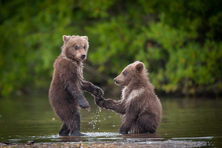 Ungentle charm of Kamchatka bears in photos by Sergey Ivanov - 14