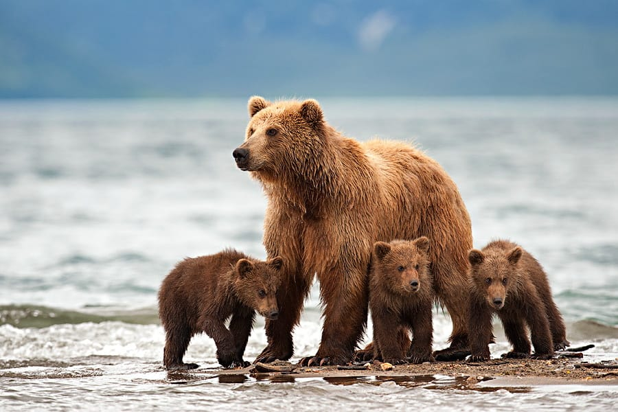 Ungentle charm of Kamchatka bears in photos by Sergey Ivanov - 15