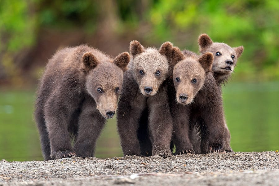 Ungentle charm of Kamchatka bears in photos by Sergey Ivanov - 16