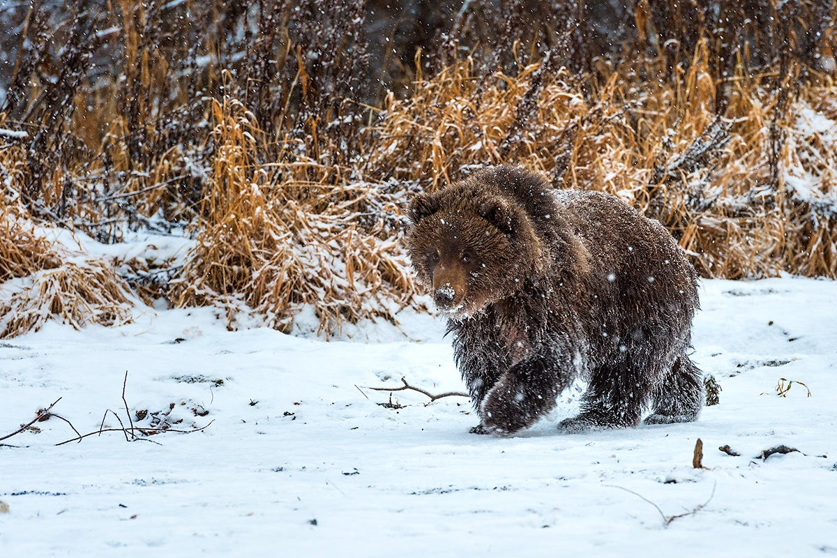 Ungentle charm of Kamchatka bears in photos by Sergey Ivanov - 19