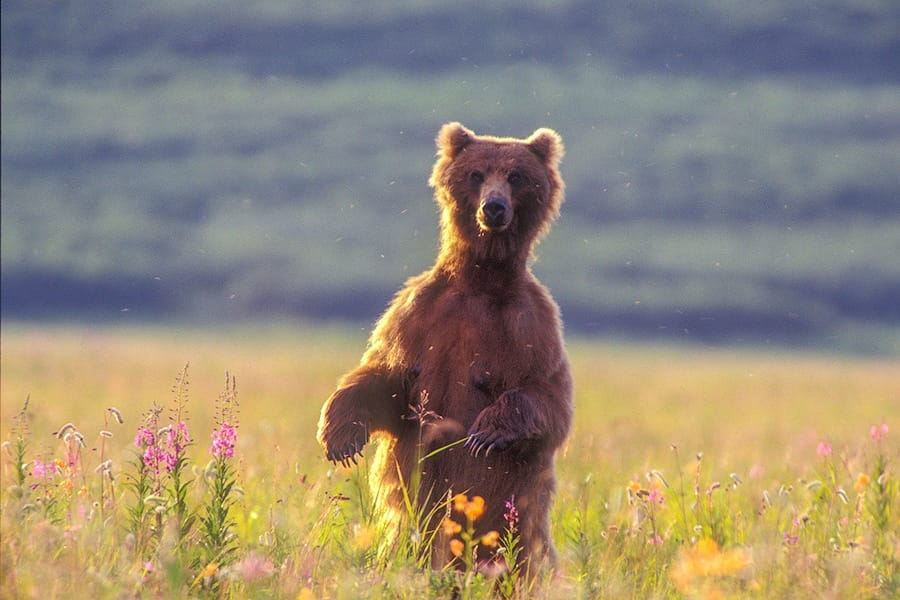 Ungentle charm of Kamchatka bears in photos by Sergey Ivanov - 22
