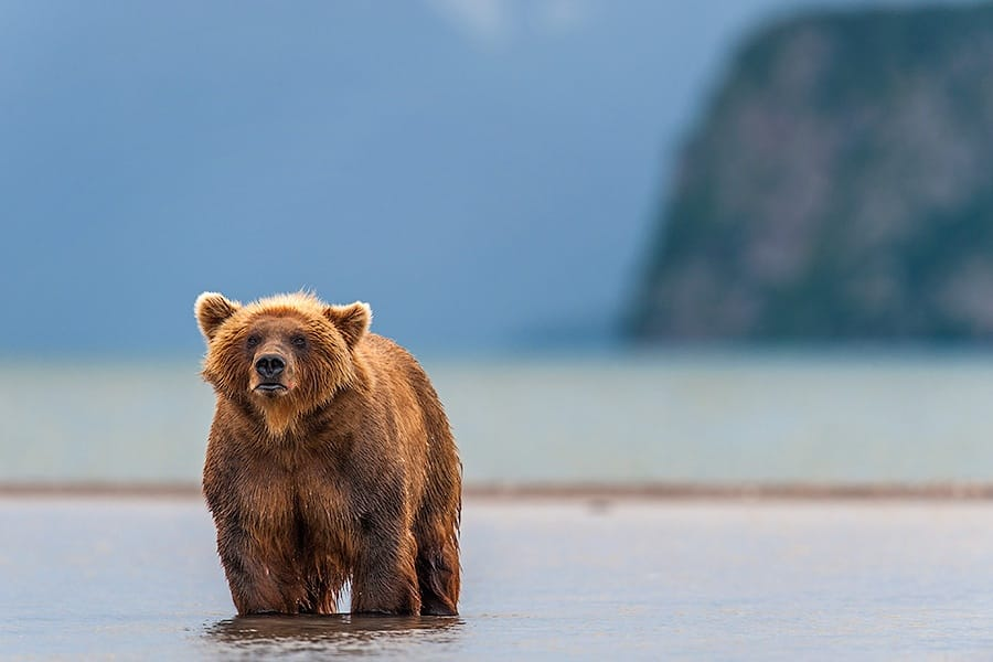 Ungentle charm of Kamchatka bears in photos by Sergey Ivanov - 23
