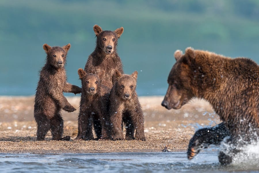 Ungentle charm of Kamchatka bears in photos by Sergey Ivanov - 25