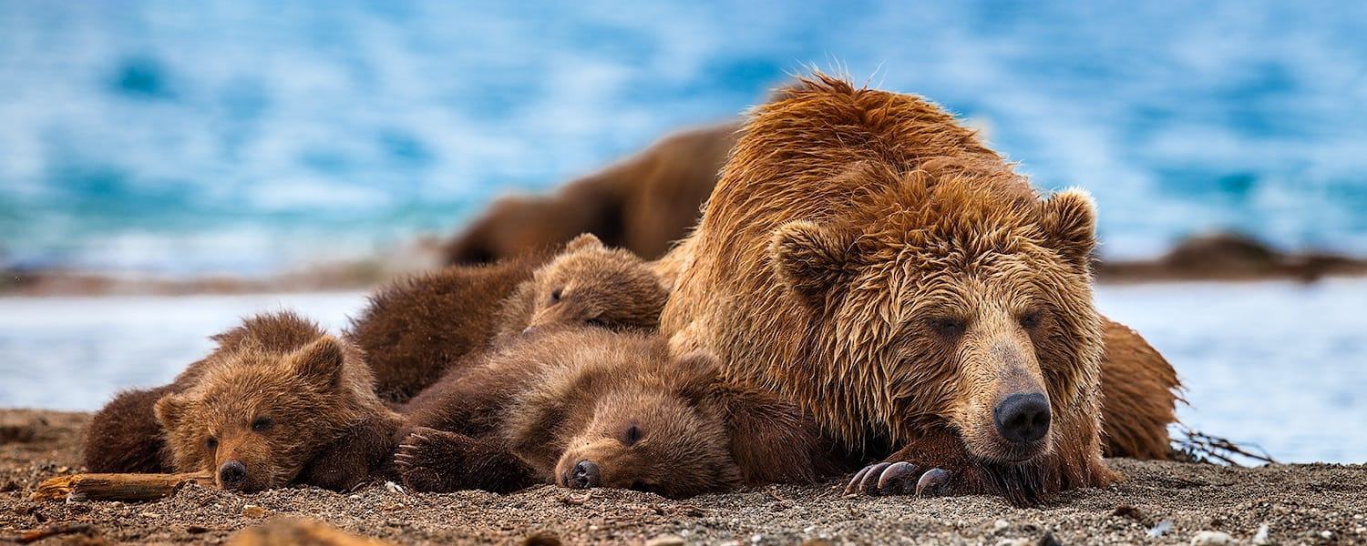 Ungentle charm of Kamchatka bears in photos by Sergey Ivanov - 26