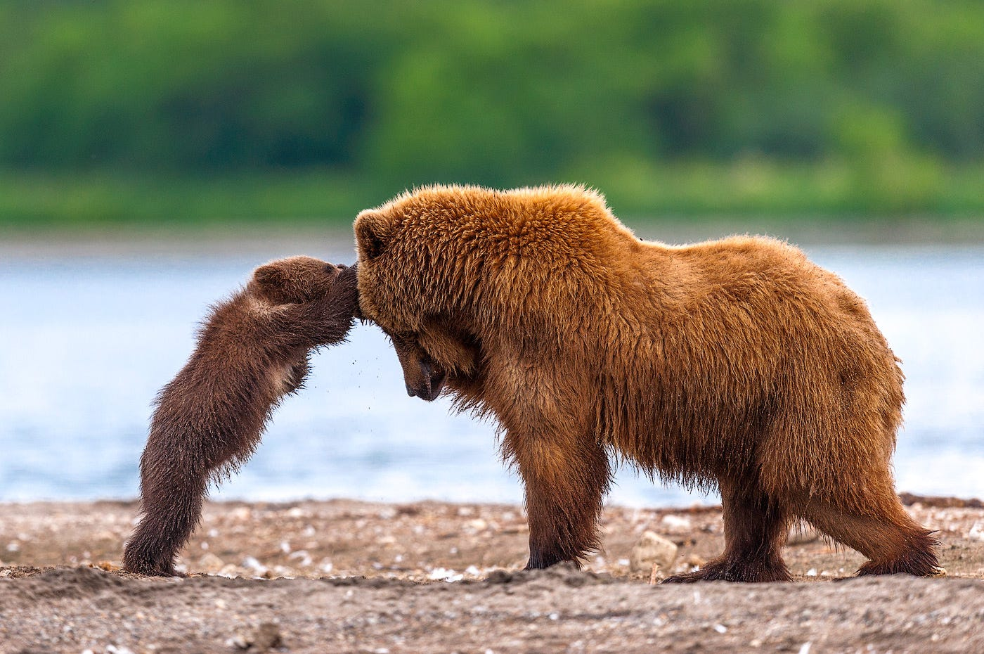 Ungentle charm of Kamchatka bears in photos by Sergey Ivanov - 27