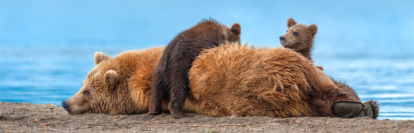 Ungentle charm of Kamchatka bears in photos by Sergey Ivanov - 29