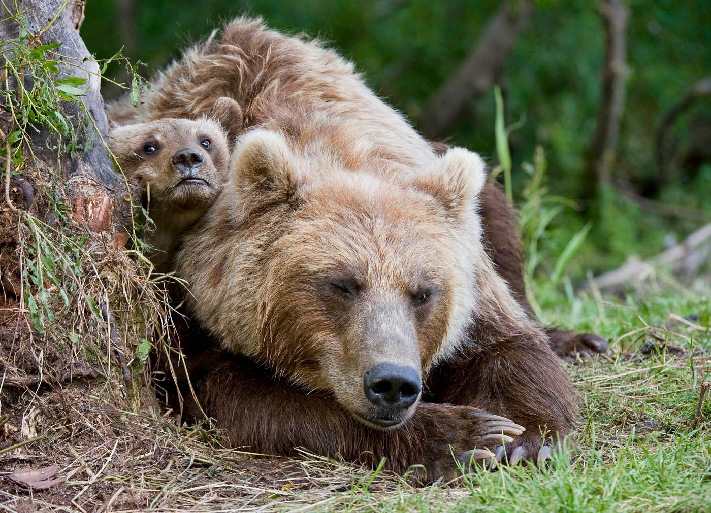 Ungentle charm of Kamchatka bears in photos by Sergey Ivanov - 4