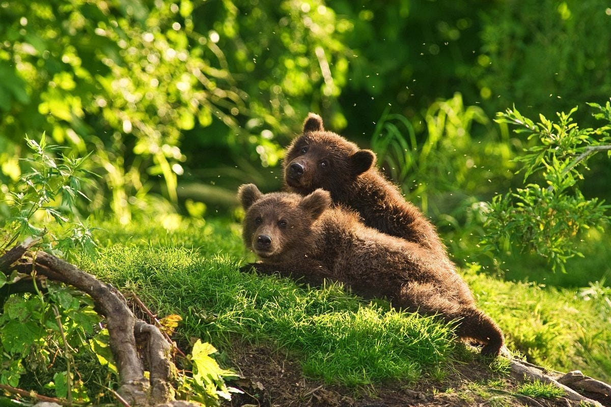 Ungentle charm of Kamchatka bears in photos by Sergey Ivanov - 6