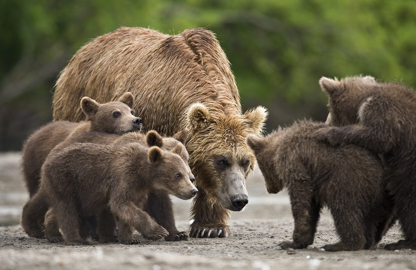 Ungentle charm of Kamchatka bears in photos by Sergey Ivanov - 7