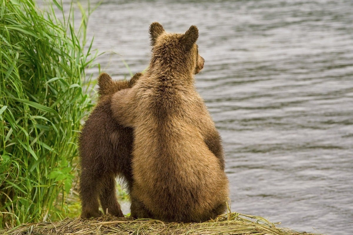 Ungentle charm of Kamchatka bears in photos by Sergey Ivanov - 8