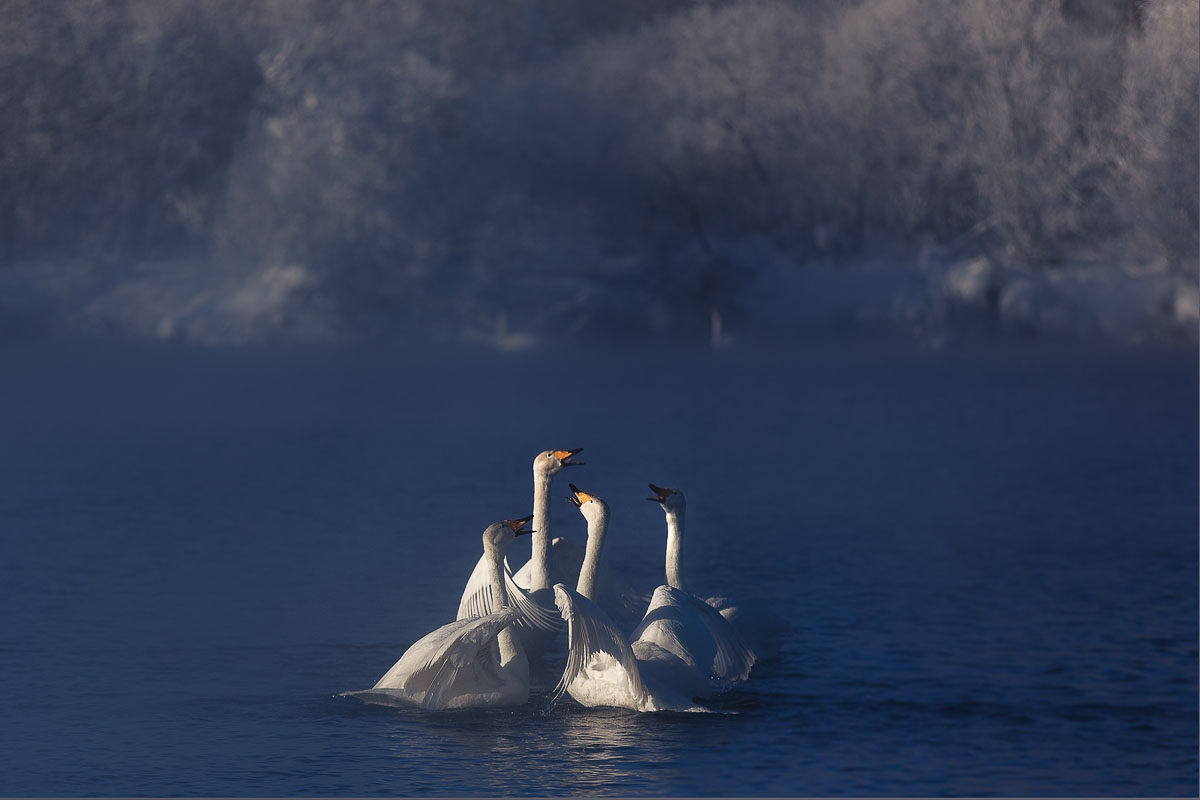 Dancing swans: Beautiful photographs by Dmitry Kupratsevich - 3