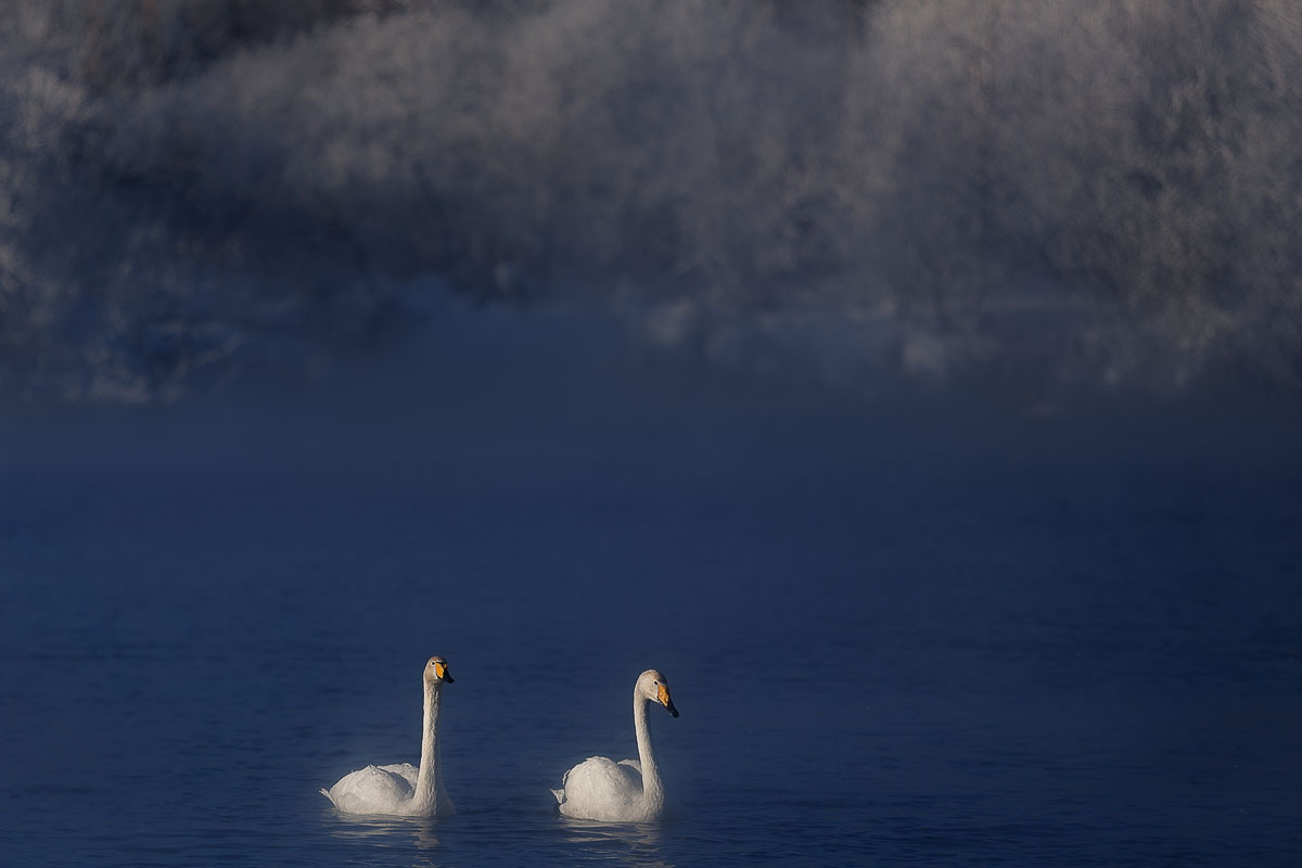 Dancing swans: Beautiful photographs by Dmitry Kupratsevich - 4