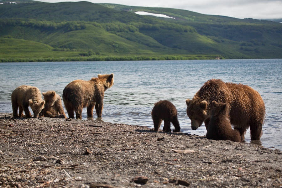 Russian bears: Photos of ferocious animals from Kamchatka - 1