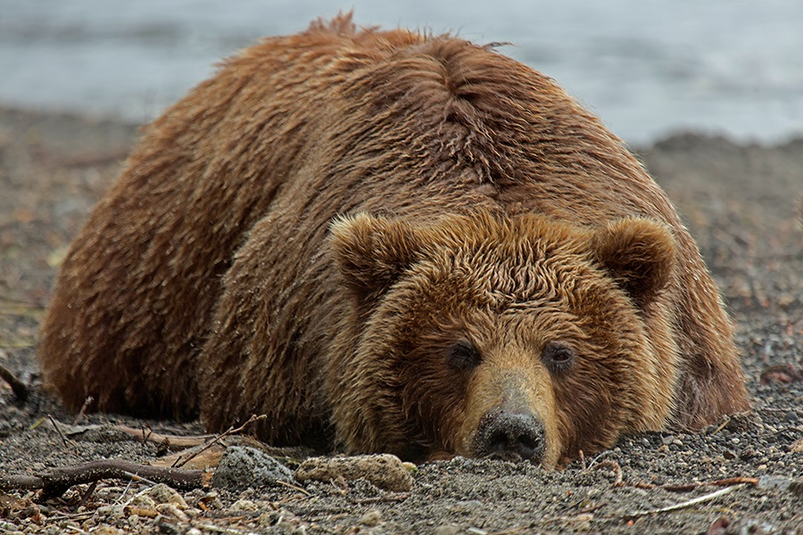 Russian bears: Photos of ferocious animals from Kamchatka - 10