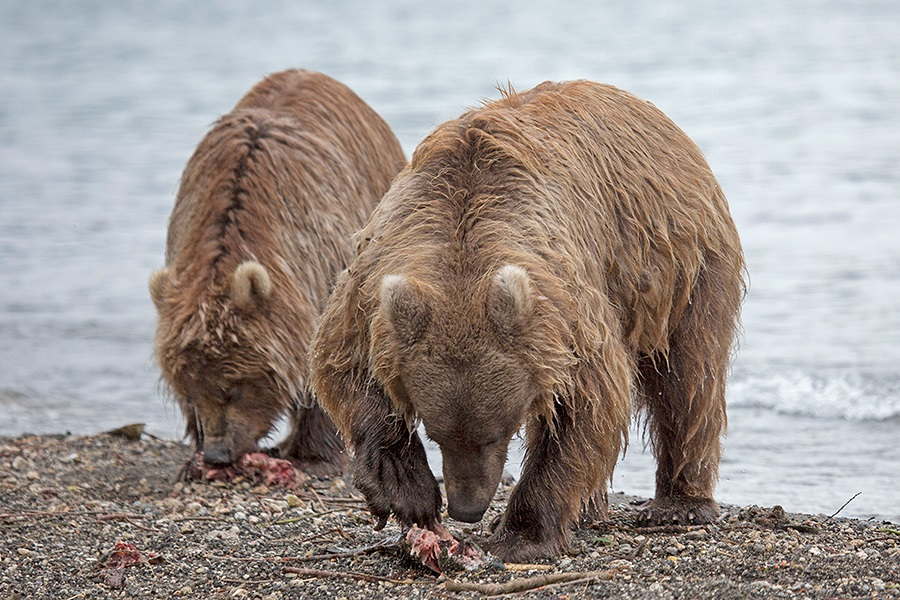 Russian bears: Photos of ferocious animals from Kamchatka - 11