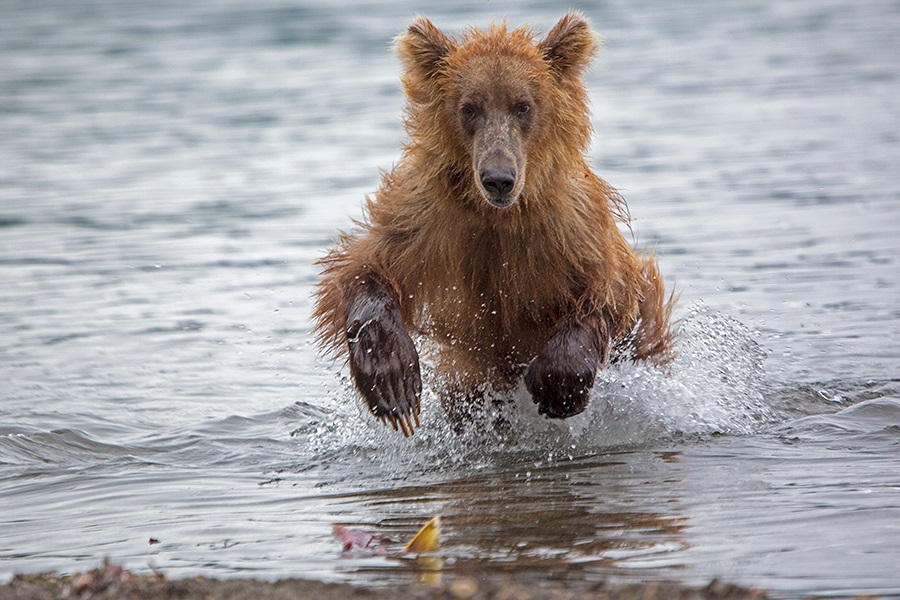 Russian bears: Photos of ferocious animals from Kamchatka - 12