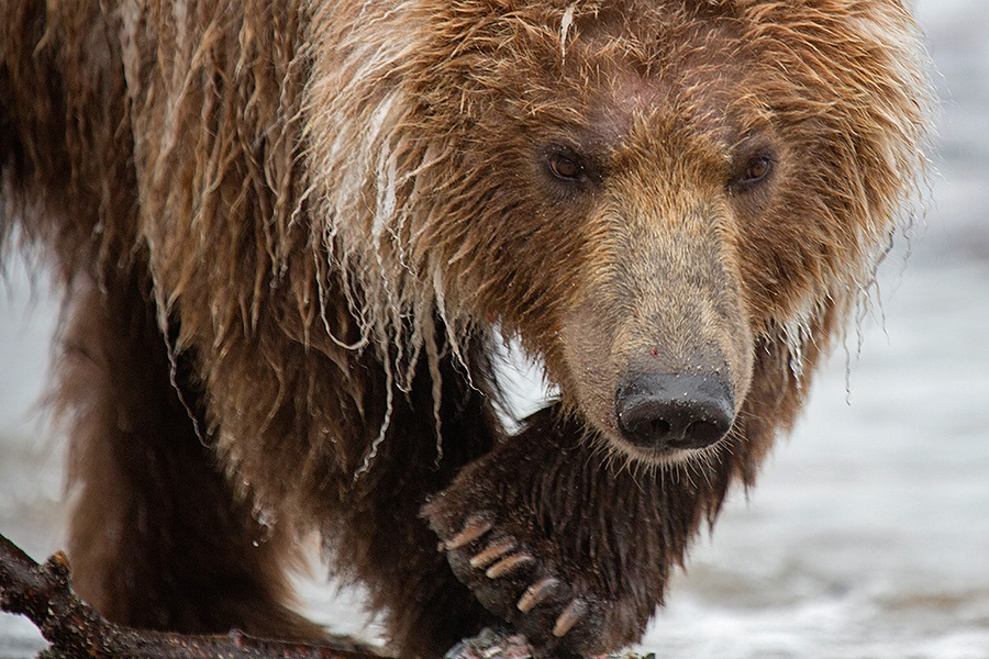 Russian bears: Photos of ferocious animals from Kamchatka - 13