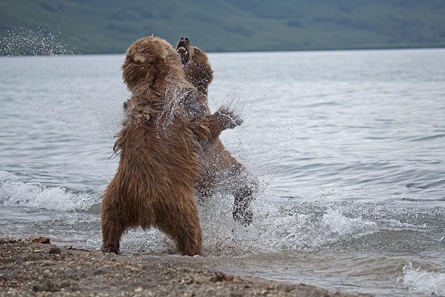 Russian bears: Photos of ferocious animals from Kamchatka - 14