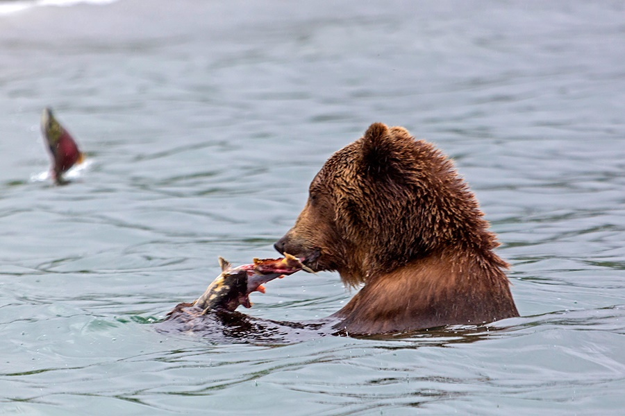 Russian bears: Photos of ferocious animals from Kamchatka - 16