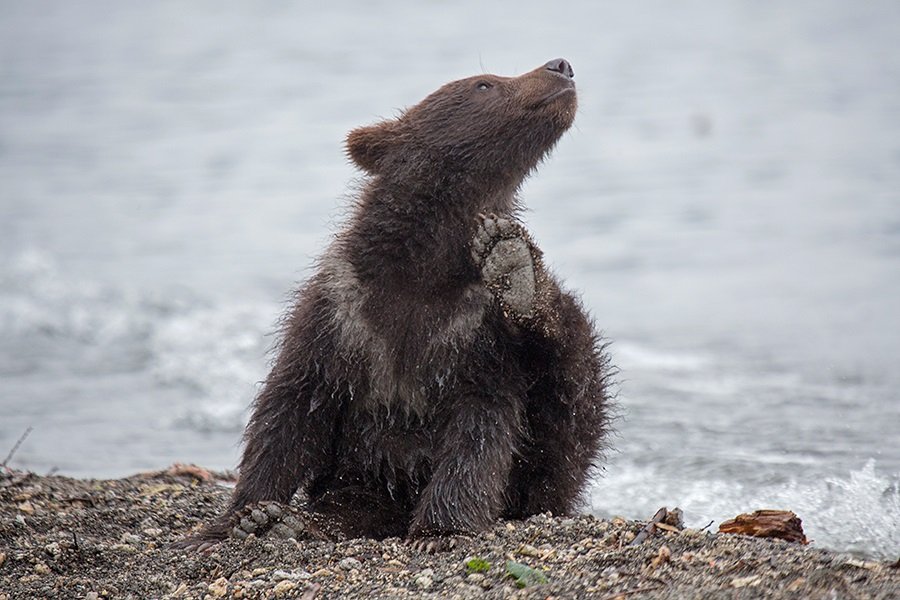 Russian bears: Photos of ferocious animals from Kamchatka - 20
