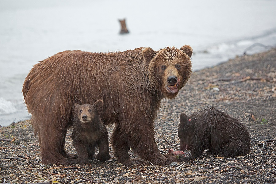 Russian bears: Photos of ferocious animals from Kamchatka - 23