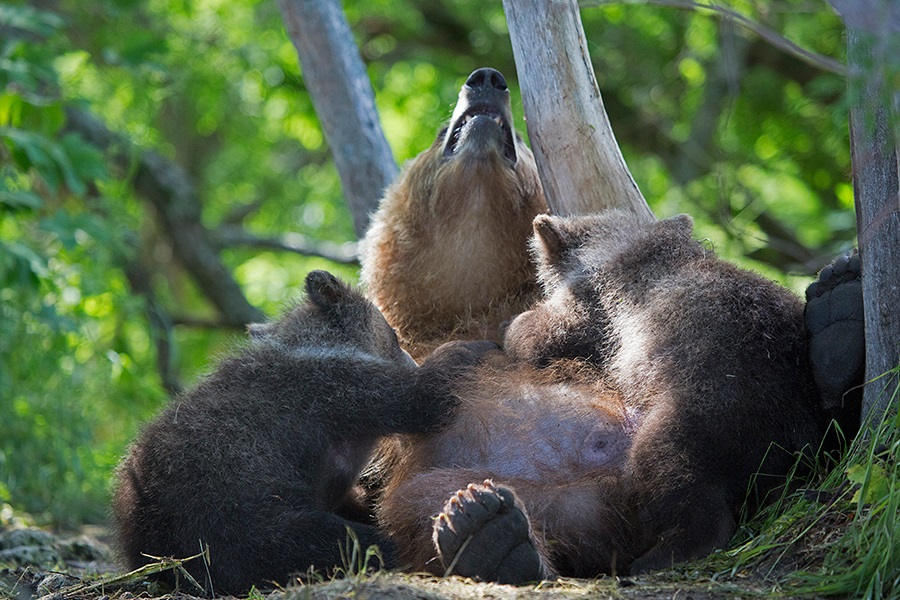 Russian bears: Photos of ferocious animals from Kamchatka - 24
